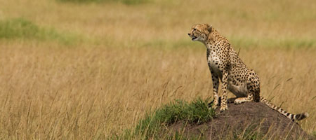 http://sandragesafaris.com/wp-content/uploads/2017/02/cheetah.jpg
